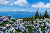 Typical Azorean landscape with hydrangeas, Pico Island, Azores