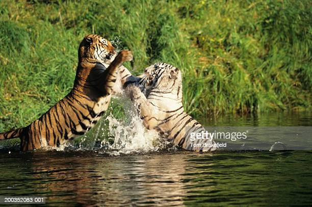 Typical Bengal Tiger (Panther tigris tigris) and white Bengal Tiger fighting