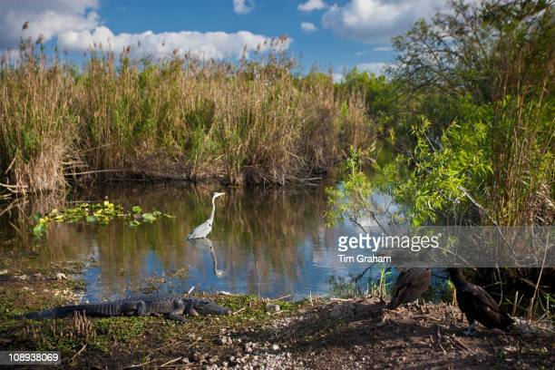 Typical Everglades scene Great Blue Heron Alligator Black vultures in a pond in The Everglades Florida USA
