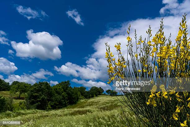 Typical green Tuscany landscape with hills trees grain fields yellow broom bushes and blue cloudy sky