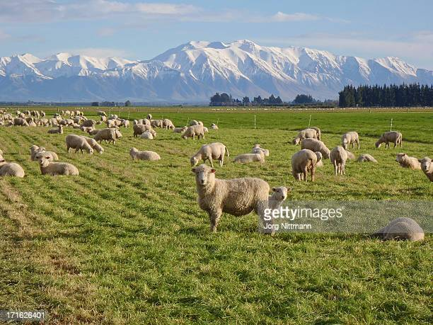 Typical Mid Canterbury Scenery