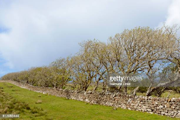 Typical Scottish landscape with stone wall and tree row, Isle of Skye, Scotland, United Kingdom