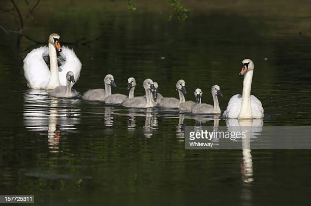 Mute swan Cygnus olor parents present family in a row