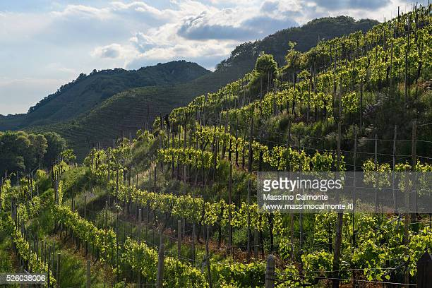 Typical vineyard for Prosecco wine, located in Treviso province in North East Italy