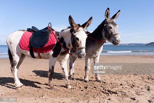Généralement british- âne promenades sur la plage