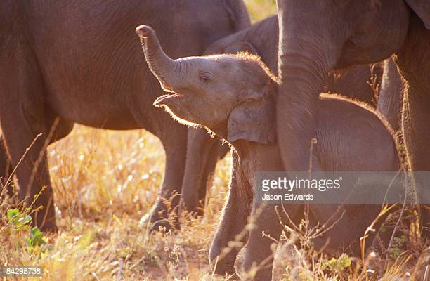 a solution to the endangerment of the asian elephant Endangered species scramble solutions african elephant white rhino sea turtle jaguar monarch butterfly mountain gorilla bonobo asian elephant.