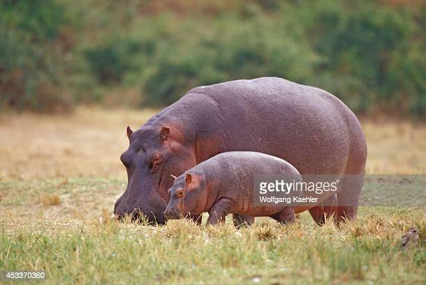 Uganda Queen Elizabeth National Park Kazinga Channel Hippopotamus On Land With Baby