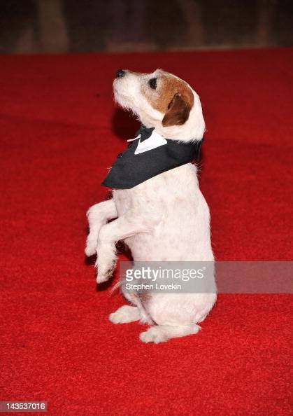 Uggie The dog from 'The Artist' attends the 98th Annual White House Correspondents' Association Dinner at the Washington Hilton on April 28 2012 in...