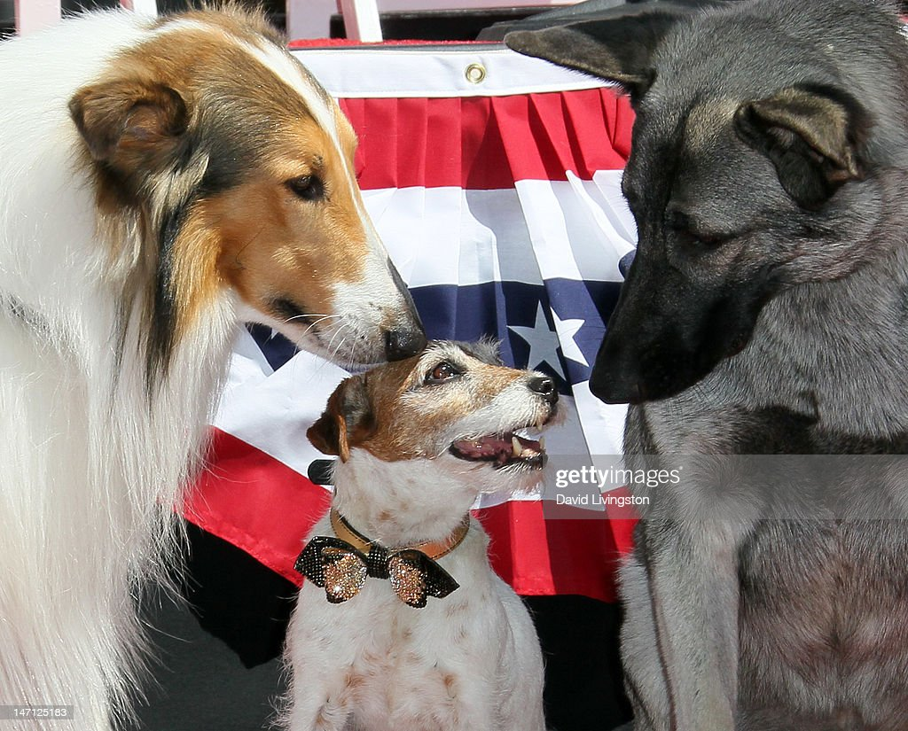 Uggie (C), the dog from 'The Artist' which won an Academy Award for Best Picture, is visited by Lassie (L) and Rin Tin Tin following his being immortalized with a hand and paw print ceremony at Grauman's Chinese Theatre on June 25, 2012 in Hollywood, California.