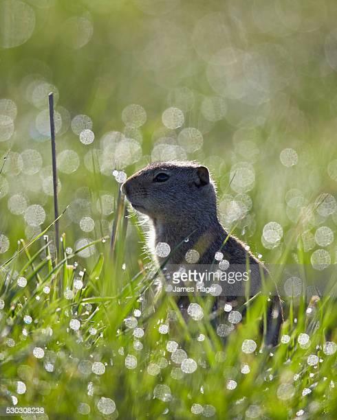 Uinta ground squirrel (Urocitellus armatus), Yellowstone National Park, Wyoming, United States of America, North America