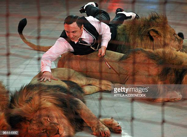 Ukrainian lion tamer Vladislav Goncharov presents his production with his seven lions in Budapest Capital Circus on January 21 2010 during a...
