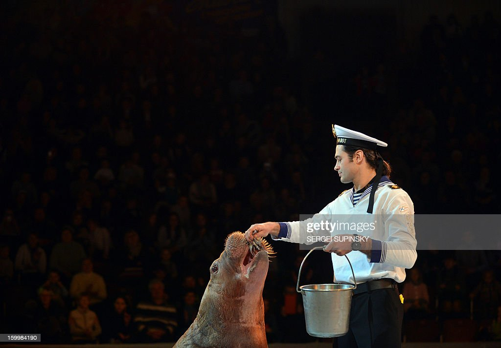 A Ukrainian National Circus artist feeds a walrus during presentation of the new programme in Kiev on January 24, 2013.