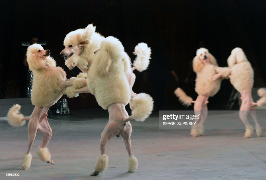 A Ukrainian National Circus artist performs with dogs during presentation of the new programme in Kiev on January 24, 2013. AFP PHOTO/ SERGEI SUPINSKY
