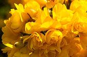 Close up of UK gorse bush flowers.
