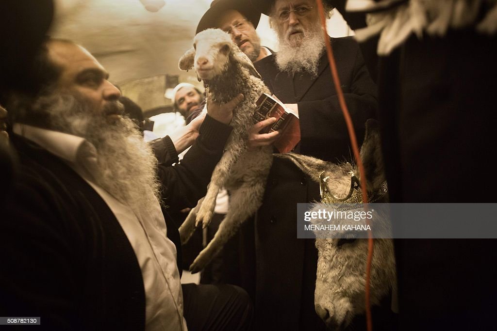 Ultra Orthodox Jewish rabbi holed the ritual baby male donkey and the lamb during the 'Redemption of the First Born Donkey' or in Hebrew ' Petter Chamor ' ceremony in in the King David tomb compound in mount Zion, outside the walls of the old city of Jerusalem,on February 6, 2016. The tradition of the 'Redemption of the First Born Donkey' is part of the 613 laws commemorated in the Jewish Bible. / AFP / MENAHEM KAHANA