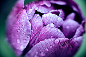 Rain drenched tulip - Utra Violet Pantone Colour of the Year, 2018