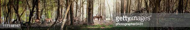 Ultra wide panoramic of deer in the forest