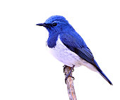 Ultramarine flycatcher or white-browed blue flycatcher (Ficedula superciliaris) the beautiful blue bird perching on the stick isolated on white background