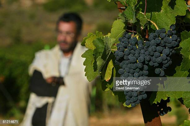 UltraOrthodox Jew Haim Abergil who ensures that all of Dalton Wineries wines conform to strict Jewish kosher laws stands alongside ripening Shiraz...
