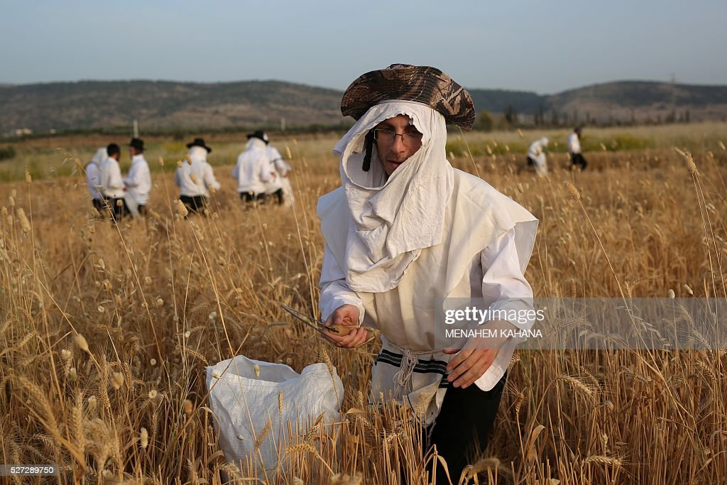 Ultra-Orthodox Jews harvest wheat using hand sickles in a field near the Mevo Horon settlement in the Israeli occupied West Bank on May 2, 2016. The wheat will be stored for almost a year before being used to grind flour in order to make the Matzoth (unleavened bread) for the week-long Passover festival next year. Religious Jews throughout the world eat matzoth during the eight-day Pesach holiday (Passover), which commemorate the Israelites' exodus from Egypt some 3,500 years ago. Due to the haste with which the Jews left Egypt, the bread they had prepared for the journey did not have time to rise. To commemorate their ancestors' plight, religious Jews do not eat leavened food products throughout Passover. / AFP / MENAHEM