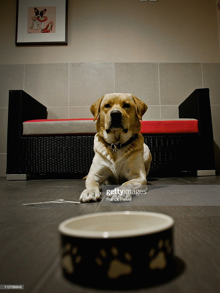 'Ulysse', a labrador stays in its hotel room at Actuel Dogs on April 19, 2011 in Vincennes, France. Opened in November 2010 by Devi and Stan Burun, Actuel Dogs is a five-star luxury hotel for dogs with four single rooms and two suites. With the aim of meeting the dogs' needs, the hotel offers activities including doggy walks, doggy rando'(hiking), doggy jogs, doggy velo'(running next to a bike) and other services such as dog massage. The hotel also caters to the needs of people living in small appartments or who don't have the time to walk their dogs.