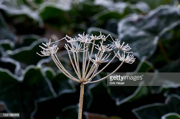 Umbellifer seed head covered in frost