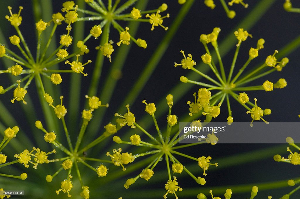 Umbels of Dill, Anethum graceolens. The Umbel is a type of inflorescence (a complex flower arrangement). Umbelliferae (Carrot or Parsley Family). Michigan, USA : Stock Photo