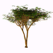 The Umbrella Acacia Tree is found in the Sahel of Africa, the Sudan and the Middle East.