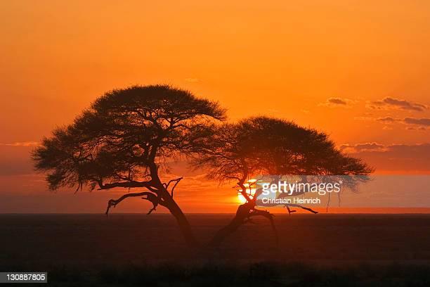 Umbrella Thorn Acacia (Acacia tortilis) at sunrise in Etosha National Park, Namibia, Africa