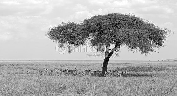 Umbrella Thorn Acacia Stock Photo Thinkstock