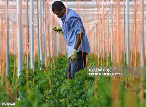 un agriculteur travaile aux milieu de plants de tomates le 24 janvier 2001 dans la zone du Lomo de la Canada près d'Almeria à l'intérieur d'une serre...