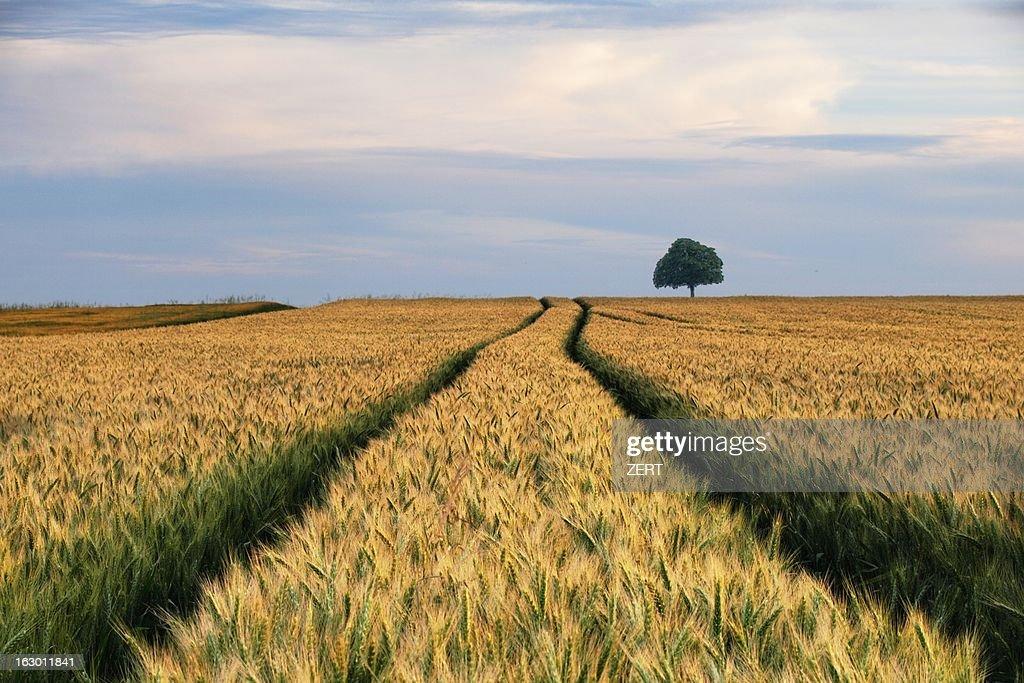 Un arbre au fond du champ de céréales : Stock Photo