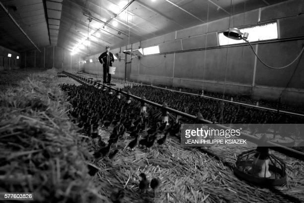 'LES AVICULTEURS DE LA DOMBES NE PLAISANTENT PAS AVEC L'HYGIENE' Un aviculteur équipé d'une combinaison sanitaire est photographié le 01 février 2007...