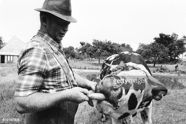 Un éleveur est oblige de nourrir un de ses taureaux avec des bananes par manque d'herbes le 09 juillet 1976 près du Havre alors qu'une importante...