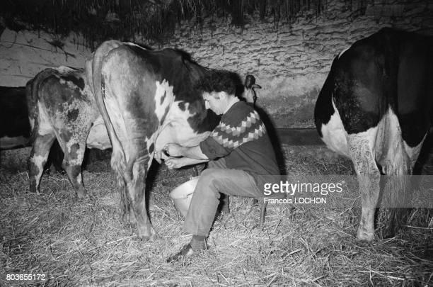 Un éleveur trait une vache en 1976 en France