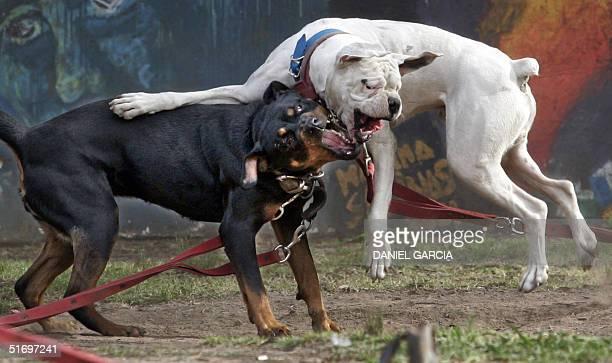 Un perro Boxer y un Rottweiler juegan en la Plaza Bernardo Houssay en el centro de Buenos Aires el 28 de octubre de 2004 AFP PHOTO Daniel GARCIA