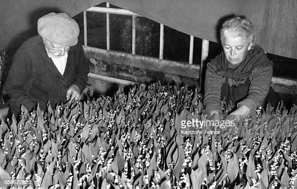 Un vieux monsieur et une dame d'âge mûr enlèvent les feuilles sèches du muguet du 1er mai dans une serre le 25 avril 1957 à Villejuif France