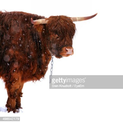 Unchained yak in snow