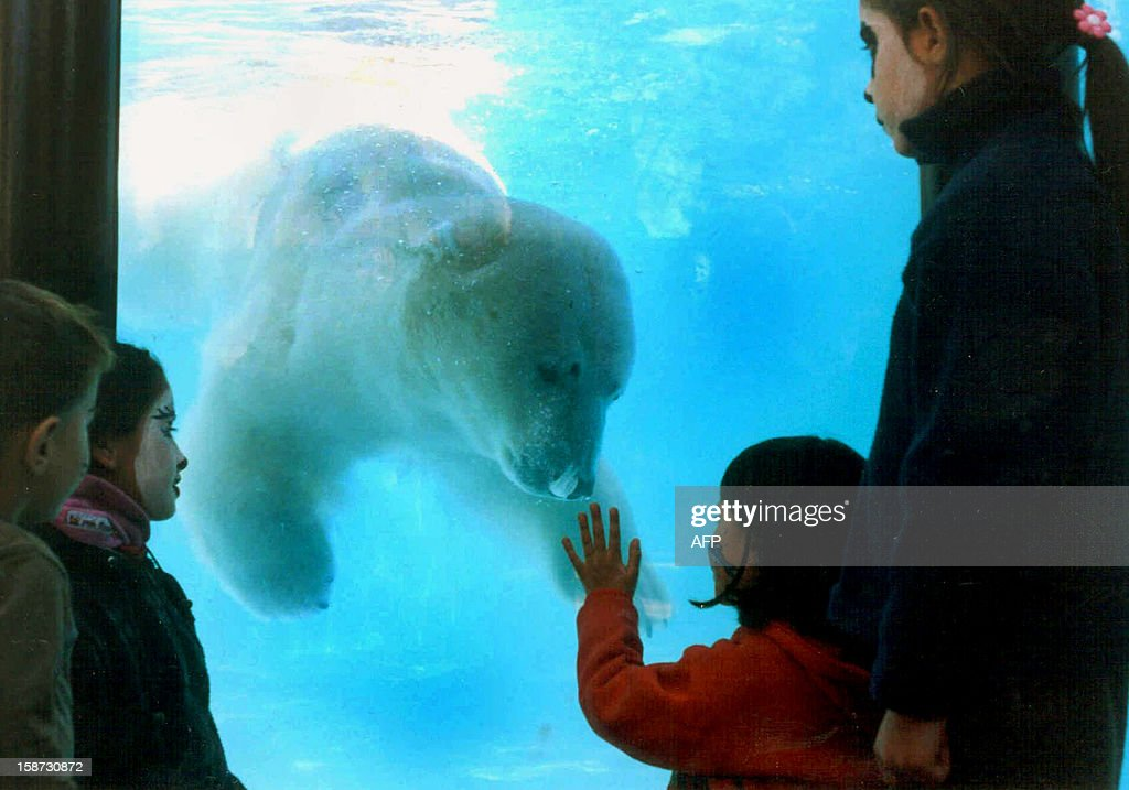Undated file picture of Polar Bear 'Winner' at the Buenos Aires Zoo. Winner died of hyperthermia on December 25, 2012 due to the heat wave that affected the region earlier this week. Temperatures hit 45°C windchill factor. AFP PHOTO/NA-Zoo Bs. As.