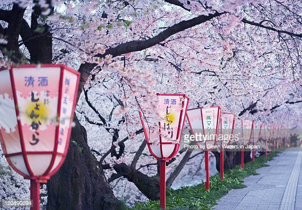Under sakura lanterns