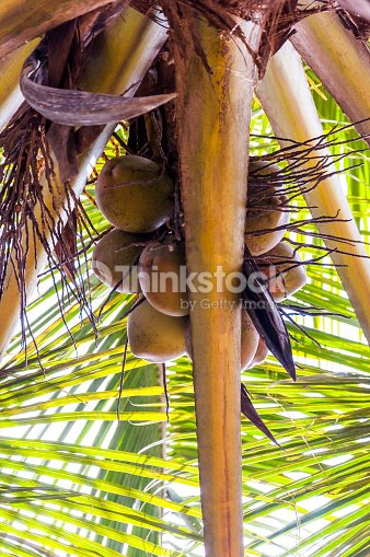 under the coconut tree branch full of fruits stock photo thinkstock