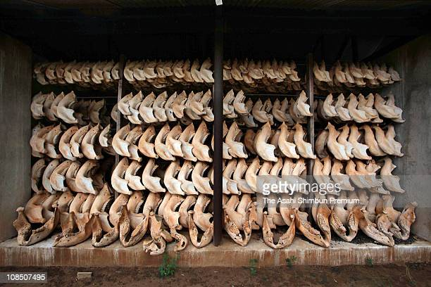 Underjaws of Africa elephant are seen stored at the Tsavo National Park on February 22 2010 in Birikani Kenya