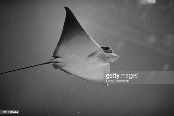 Underside of a Manta Ray
