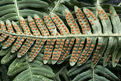 Underside of common Polypody leaf, Polypodium virginianum, with sporangia, Rowan County, Kentucky, USA