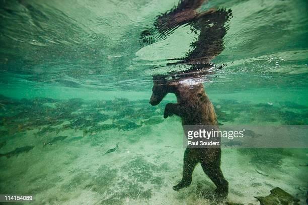 Underwater Brown Bear, Alaska