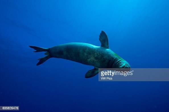 Underwater encounters with Hawaiian monk seals Monachus schauinslandi are few and far between Hawaii