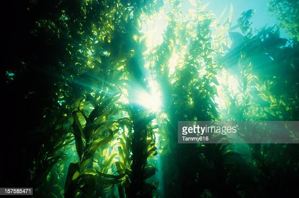 Underwater forest of green kelp
