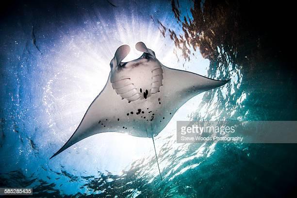 Underwater low angle view of Manta Ray (manta alfredi) feeding at ocean surface, Bali, Indonesia