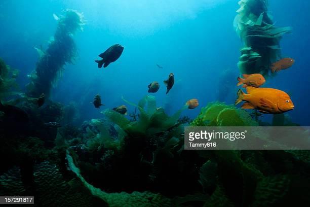 Underwater photo of fish swimming amongst kelp