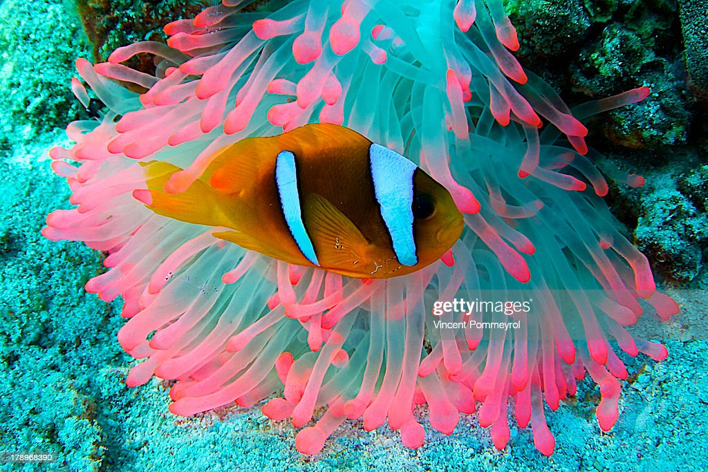 Underwater photography of Clown fish